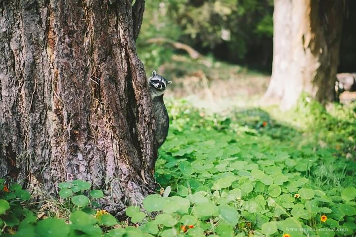 raccoon-golden-gate-park