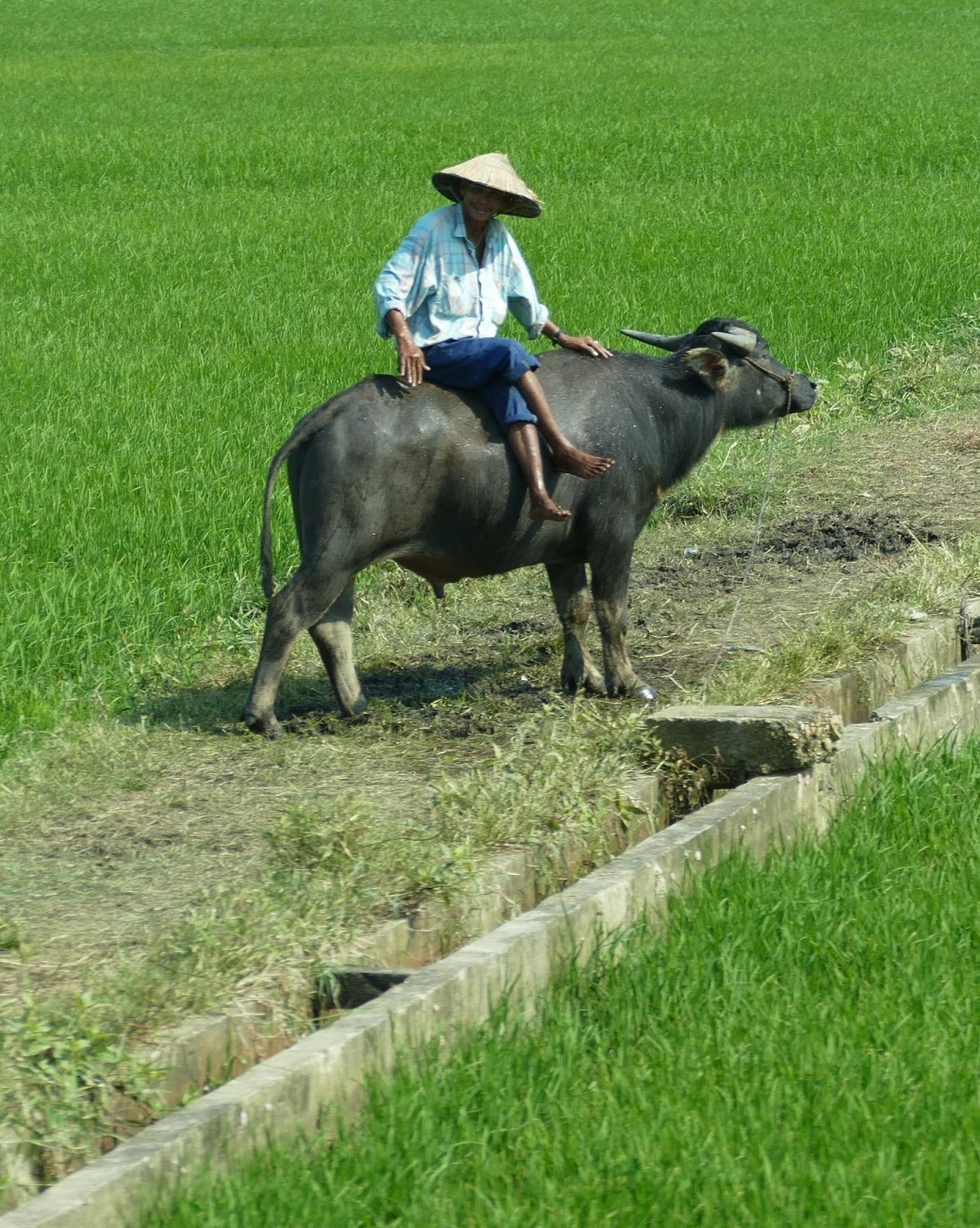 Image of a rice farmer on an Asian water buffalo.