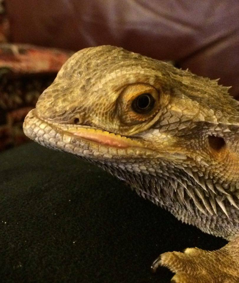 the uromastyx is pretty stressed from all the moving around  every time i pull him out he pees on me     i u0027ll let him settle in to his new tank before i     sarah u0027s bearded dragon rescue  2 beardies   1 uromastyx in  one      rh   sarahsbeardeddragonrescue blogspot