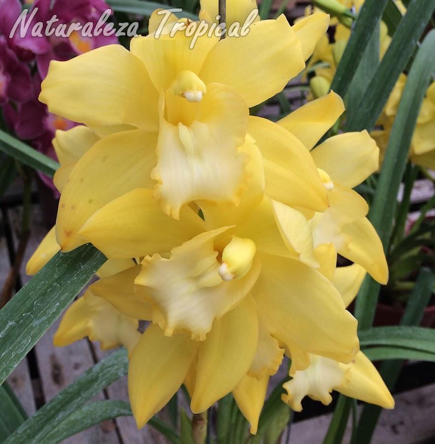 Híbrido comercial del género Cymbidium con flores totalmente amarillas