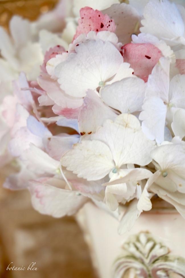 white-hydrangea-blossom-with-colored-petals