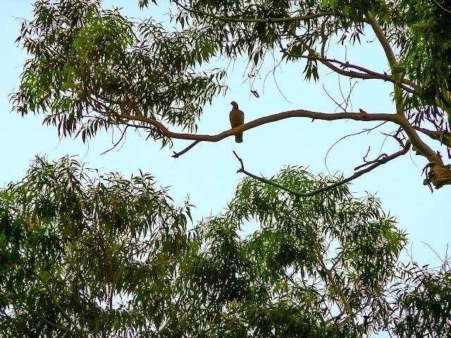 Paloma en lo alto de una rama de árbol rodeado de hojas.