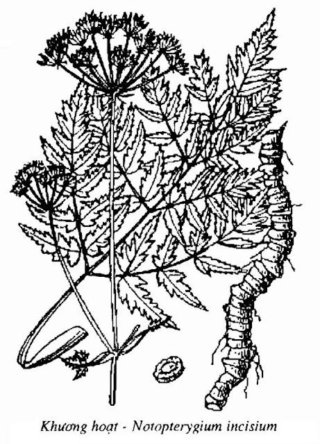 Hình vẽ Khương Hoạt - Rhizoma Notopterygii - Nguyên liệu làm thuốc Chữa Cảm Sốt