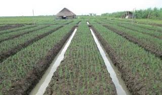 cara menanam bawang merah dengan biji,cara menanam bawang merah di pekarangan rumah,cara menanam bawang merah secara hidroponik,cara menanam bawang merah polybag,