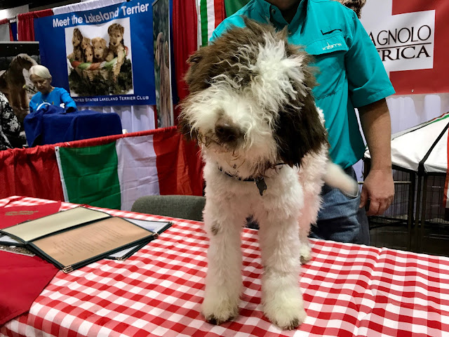 Lagotto Romagnolo Meet the Breeds #AKCDogShow #TheBigDogShow #RoyalCaninDogs