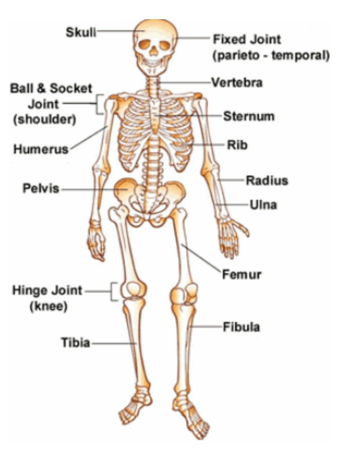 Skeletal System Bestarewa Blog Home Of Exclusive Updates