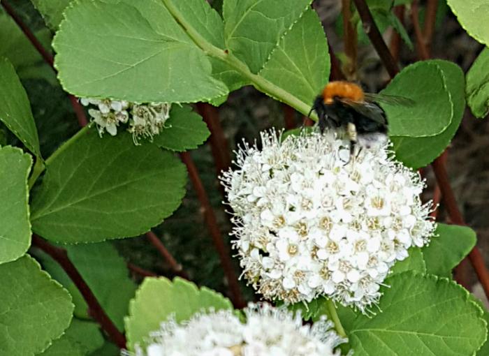 mehiläinen valkoisessa kukassa