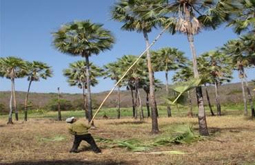 Trabalhadores seguem impedidos de trabalhar na extração da palha das palmeiras nativas (palha da carnaúba) em Apodi, RN