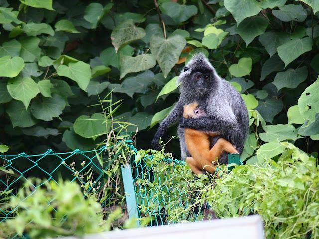 borneo monos