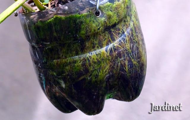 Musgo verde no vaso de orquídea