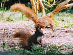Wiewiórki w Ogrodzie Dendrologicznym w Glinnej