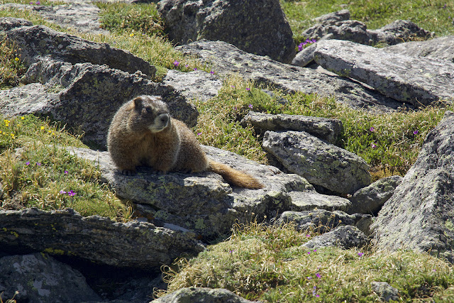a marmot along our hike on the continental divide to Mt. Ida