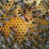 Hangi Arı Irkı Daha Çok Bal Yapar