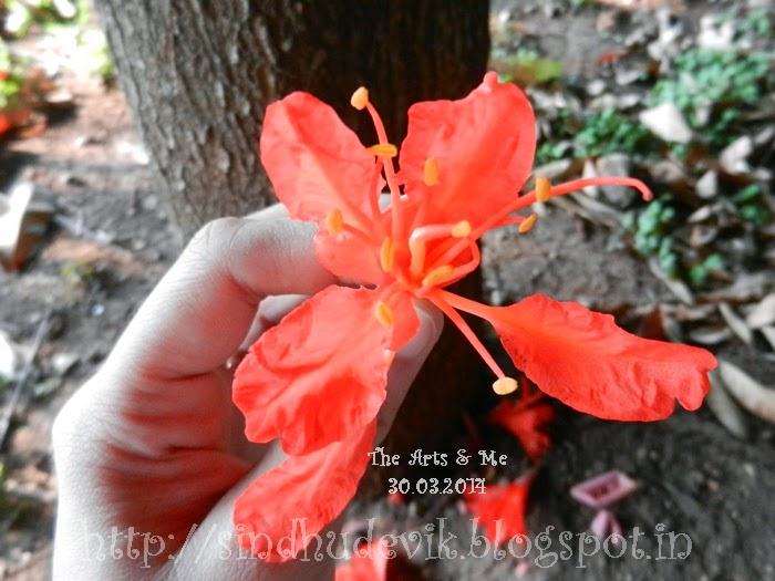 Lal Zumbar or Brownea Coccinea - Single Flower