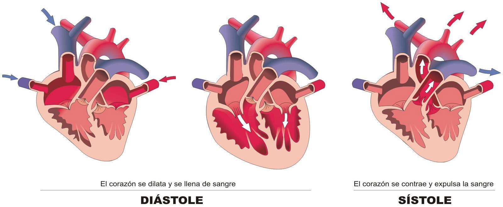 Circuito Sanguineo : 24 tes: la oxigenación y la distribución de sangre.