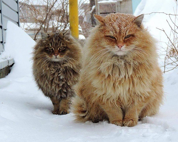 Two huge-cats