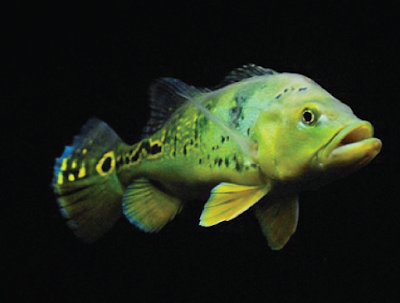 Makanan Peacock Bass Monoculus