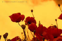 http://fineartfotografie.blogspot.de/2013/10/mohnbluten-rote-farbtupfer-in-der.html