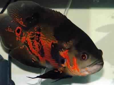 أشكال وألوان أسماك التترا Tetra fish بالصور
