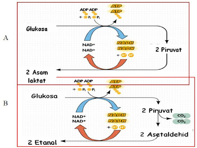 Respirasi anaerob menghasilkan:asam laktat (A) atau etanol (B).