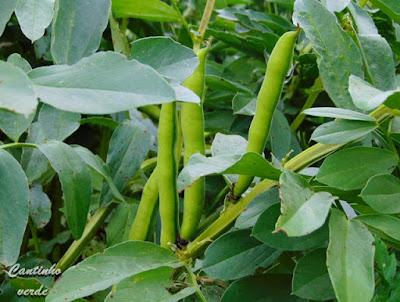 Cultivo e sementeira da fava
