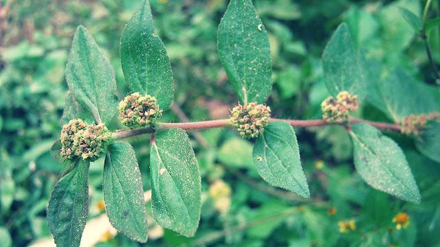 Euphorbia Hirta Benefits