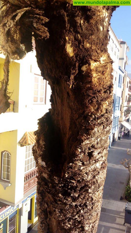 El Ayuntamiento de Santa Cruz de La Palma se ha visto obligado a talar tres palmeras de la Avenida Marítima