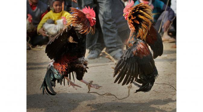 Hasil gambar untuk wala mero sabung ayam