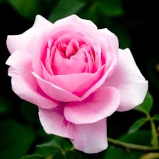 Gambar Bunga Mawar Yang Cantik Mempesona 200162_Pink Roses