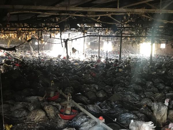 Geredeli Köyünde Çiftlikte Çıkan Yangında 8 Bin Hindi Telef Oldu