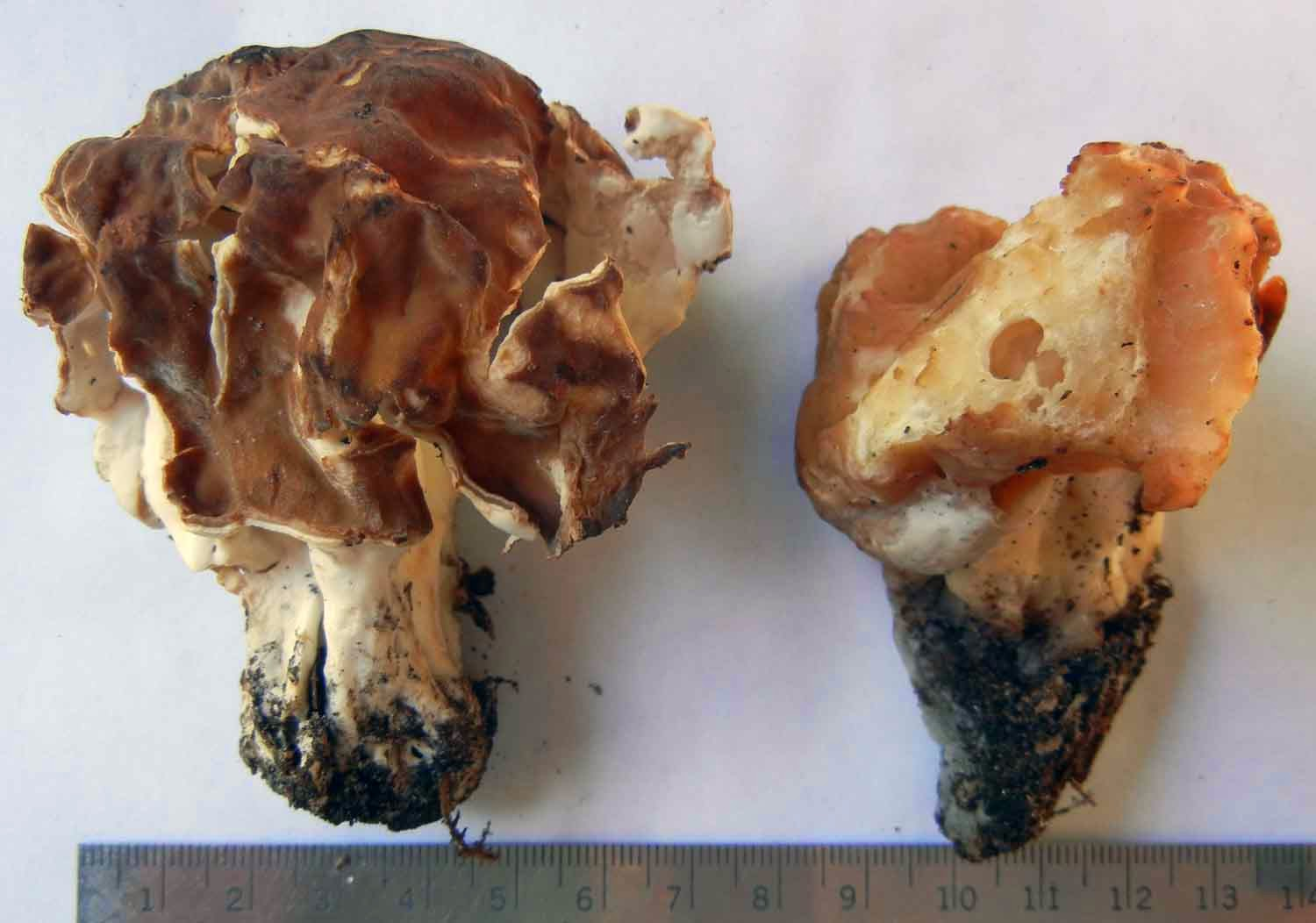 "Gyromitra korfii is less ""brainy"" than G. esculenta."