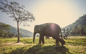 Wallpaper: Thai Elephants