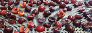 Dehydrating Ranier cherries, using dried cherries in recipes, how to dehydrate cherries, Northwest cherry growers, Canbassador program