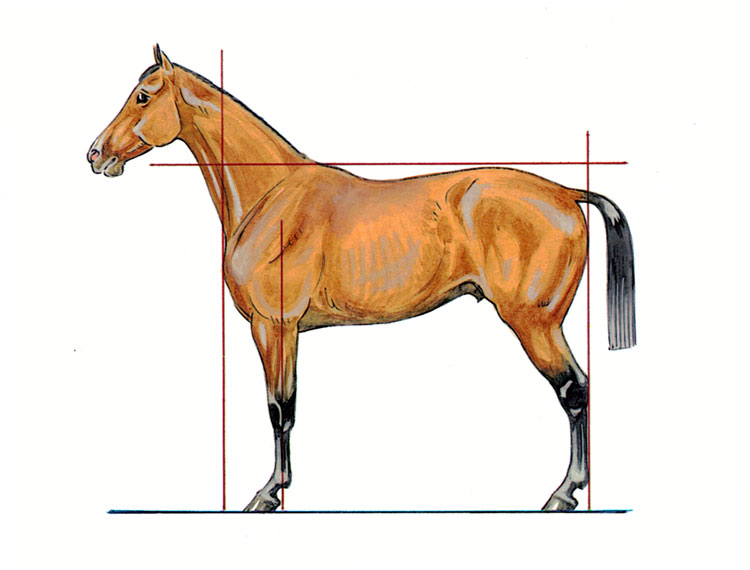 Schéma d'un cheval bien conformé, à la bonne morphologie.