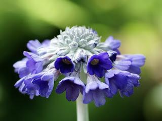 Primevère de l'Himalaya - Primula capitata