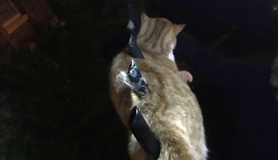 Kucing tertusuk di pagar besi