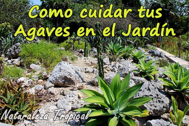 Como cuidar tus agaves en el jardín, género Agave