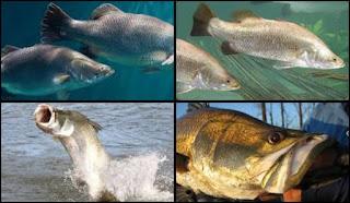 Mengenal Ikan Baramundi Si Predator Ganas Muara