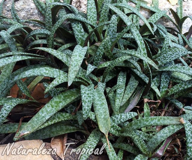 La planta Escila, Ledebouria socialis