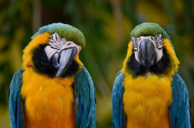 Parrots talking