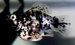 Jenis Ikan Molly Marble termahal