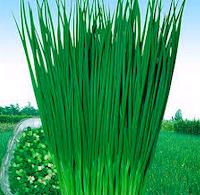 budidaya daun bawang Prei