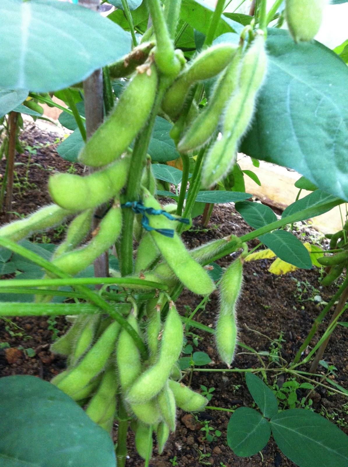 GrowVeg.com - Plant Information GrowGuide for Edamame |Edamame Flower