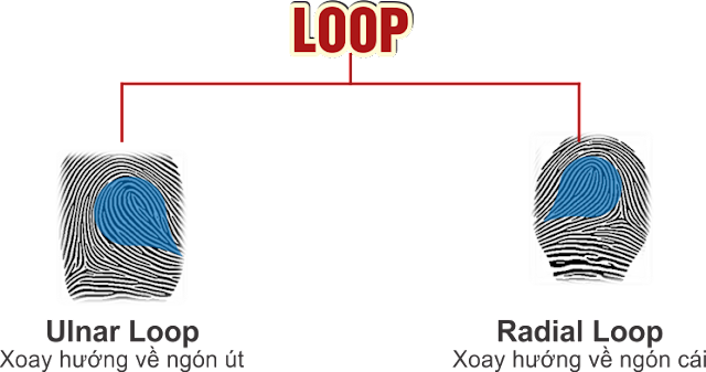 Dự đoán tính cách chủng vân tay nước - Loop