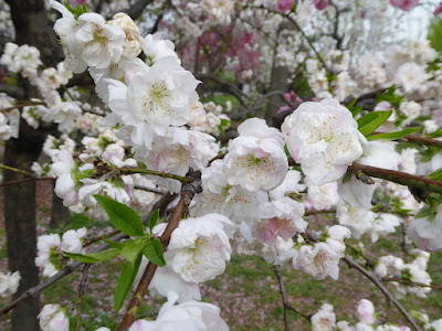 大阪城桃園(Peach Grove) 源平枝垂れ