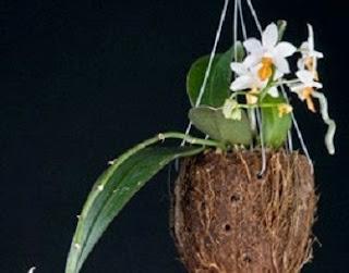 cara menanam anggrek dengan media arang,cara menanam anggrek bulan,cara menanam anggrek dari botol,cara menanam anggrek vanda,cara menanam anggrek hidroponik,