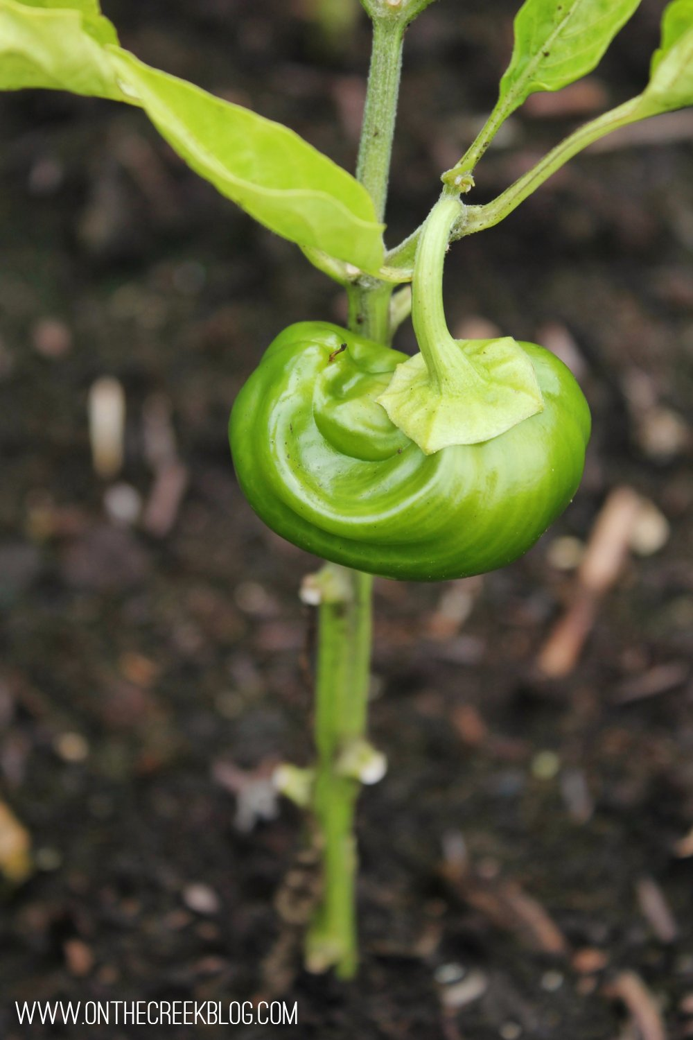 Green pepper plant with tiny green pepper