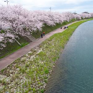 深川川の桜