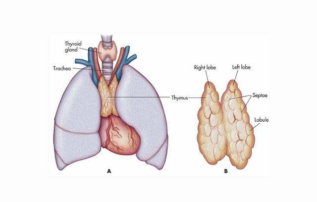 Kelenjar timus merupakan kelenjar yang terletak di dalam rongga dada atas dan memiliki fu Kelenjar Timus : Pengertian, Struktur, Fungsi