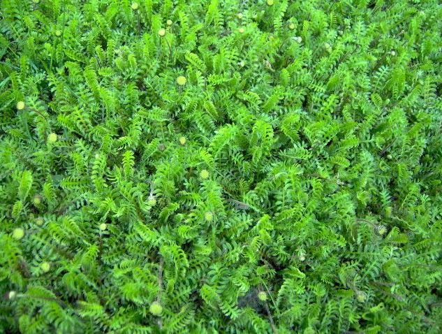 Tråkkbregne - Leptinella